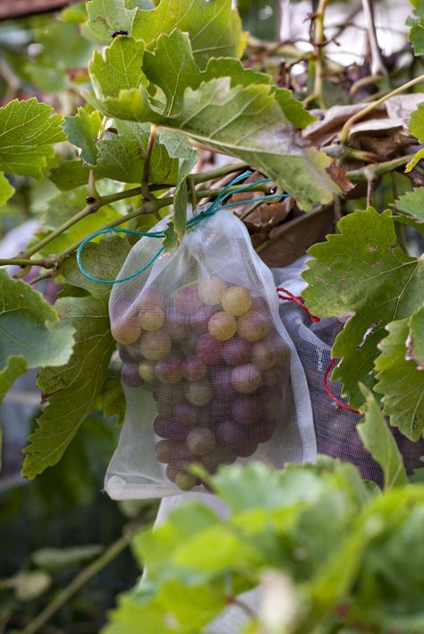 Use Bags to Protect Grapes from Birds We purchased mesh tie bags from Amazon, which work fairly well deterring birds and protecting the fruit. You'd be surprised though – you must tie the bags securely around the vines. We found several untied. I swear, the birds are smarter and more creative than you'd think. We've also used brown paper bags with rubber bands. This does not work as well – they usually fall off or get wet from the sprinklers.
