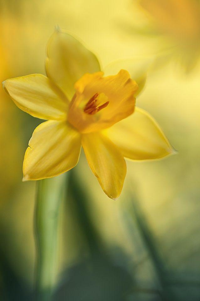 Narcis by Mirka Wolfova on 500px