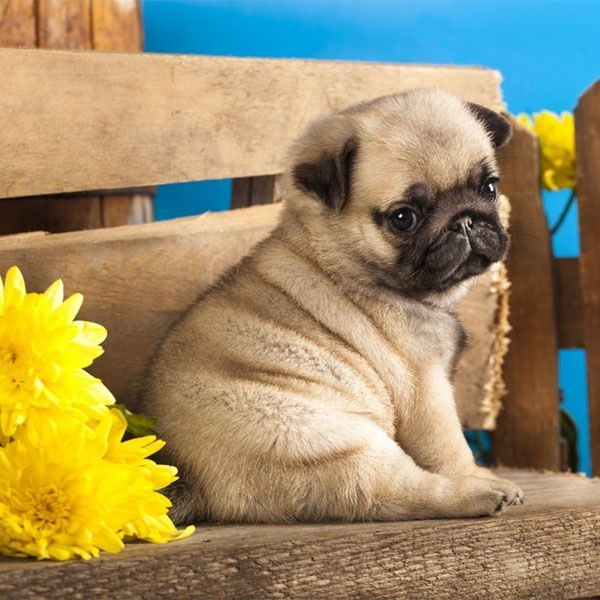 This pug exudes an air of calm and peace. Pug puppy and spring flowers.