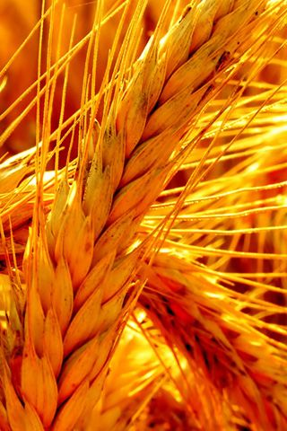 Color inspiration 1: Gold and yellow (represents the beautiful wheat fields in Ukraine)