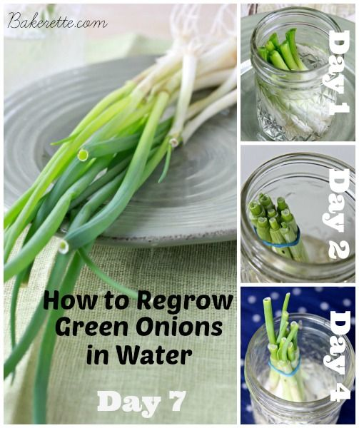 How to regrow green onions in water for a never-ending supply of scallions! No green thumb required! Pinky swear! Bakerette.com