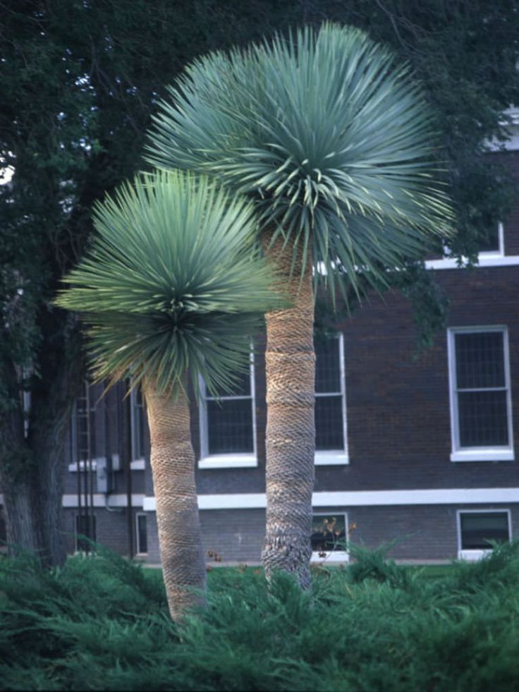 Yucca rostrata (Beaked Yucca) is a slow-growing, tree-like Yucca with upright stems and beautiful gray-blue narrow foliage. Although it can...
