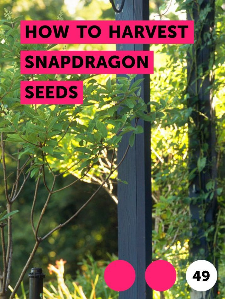 Learn How To Harvest Snapdragon Seeds How To Guides Tips And Tricks Indoor Roses Plants Bamboo Plants