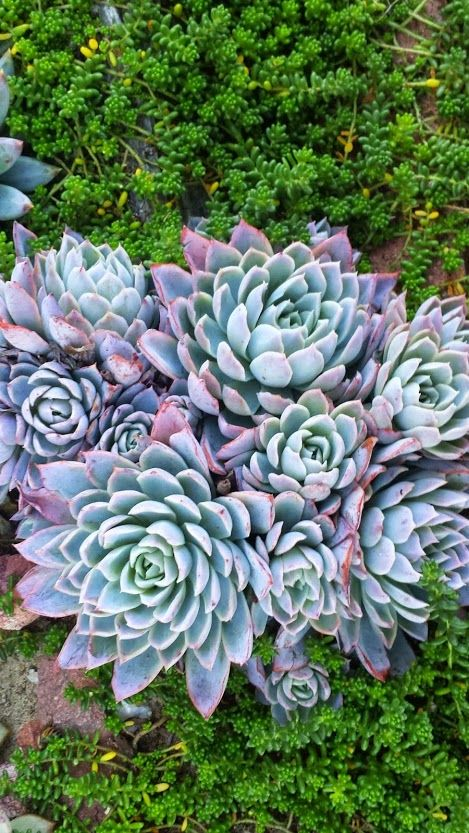 Google+ Echeveria Elegans - Mexican Snowball from my neighbors yard ...