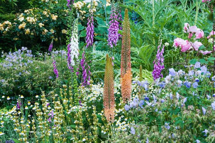 CAROLE DRAKE                                       | Herbaceous borders at Cothay Manor, Somerset containing repeated clumps of Geranium pratense 'Mrs Kendall Clark', Anthemis punctata sp cupaniana and Sisyrinchium striatum punctuated by foxgloves and foxtail lilies with cardoons and macleaya behind