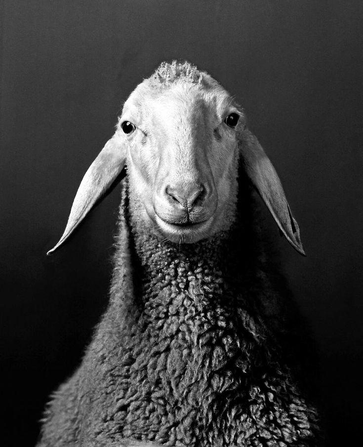 Nach allen Regeln fotografischer Kunst wie ein Porträt inszeniert: Walter Schels' Aufnahme eines Schafes.