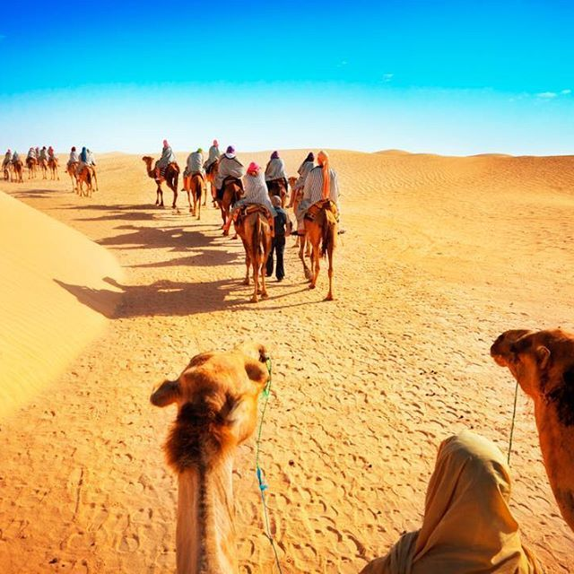 The coolest convoy ever in Egypt.  #egypt #visitegypt #travelegypt #egyptphoto #camels #travel #instatravel #travelgram #tourism #instago #passportready #travelblogger #wanderlust #ilovetravel #writetotravel #instatravelling #instavacation #travelblogger