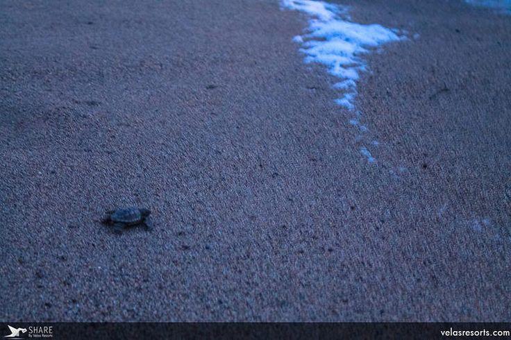 Черепашечка что есть мочи бежит домой - к родной морской стихии... В этот момент детеныши морских черепах очень уязвимы. Их хорошо видно на песке, и у них неокрепшие, мягкие панцири. В природе в это время на них набрасываются чайки и альбатросы... Но наши добровольцы внимательно следят, чтобы малыши добрались до океана целыми и невридимыми.