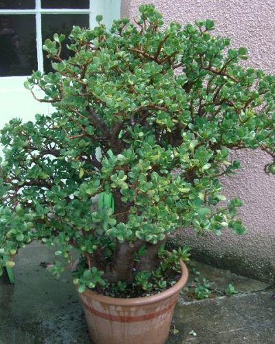 Plus de 25 id es tendance dans la cat gorie crassula ovata for Entretien bonsai interieur