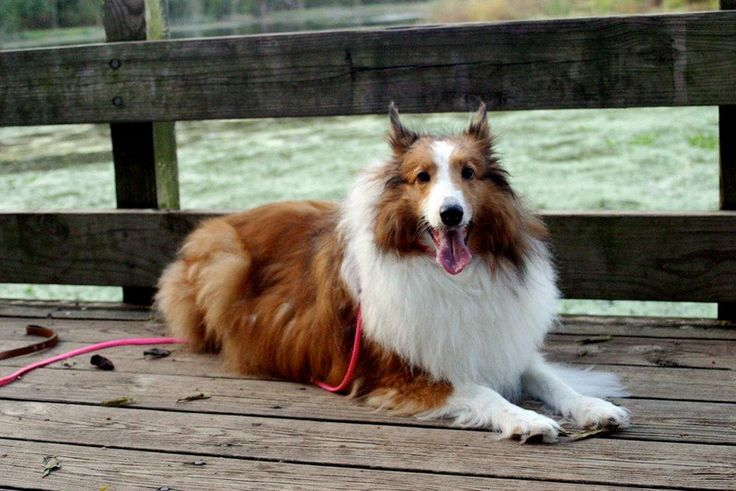How My Collie Dog Saved My Life:  A Short Story