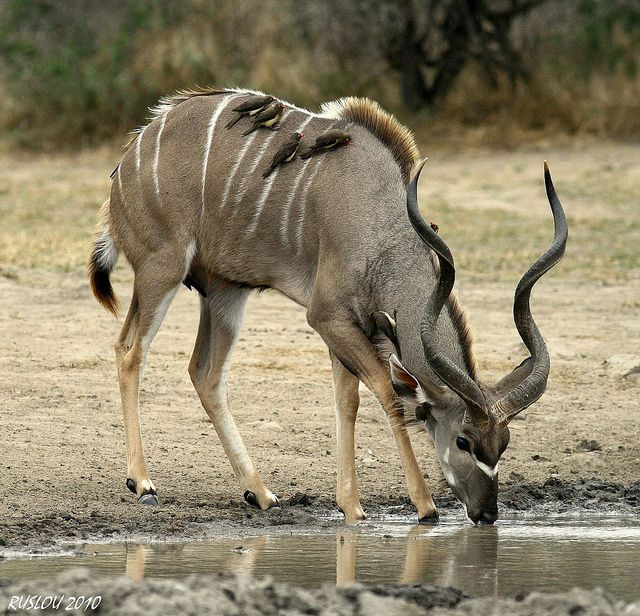 Kudu Bull (Tragelaphus Strepsiceros)