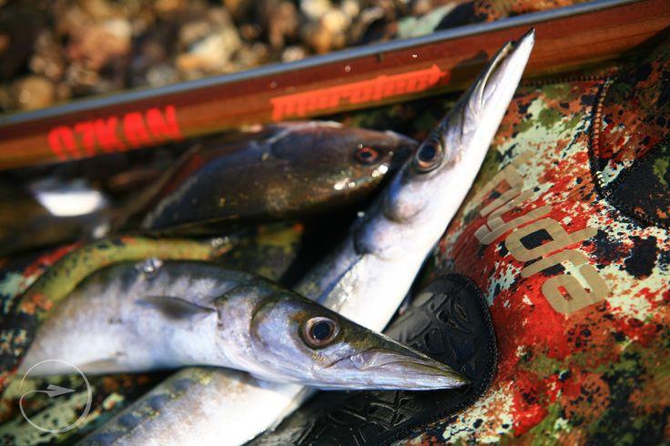 #Pesca #submarina #Pescasubmarina #lanza #lance #pechesousmarine #peche #sousmarine #pescasubacquea #subacquea #lieuxdepeche #peschereccio #Fischerei #Fischen #Fang #Angeln #Speerfischen #Podvodni #ribolov #Podvodniribolov
