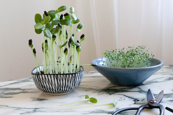 Odla chiafrön och solrosskott – enkelt och kul!