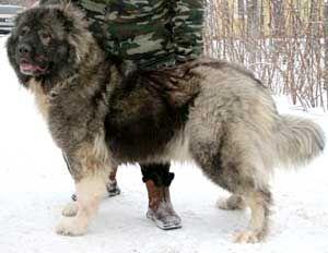 ВАЛЬДГЕЙМ БАВАРИЯ, кавказская овчарка
