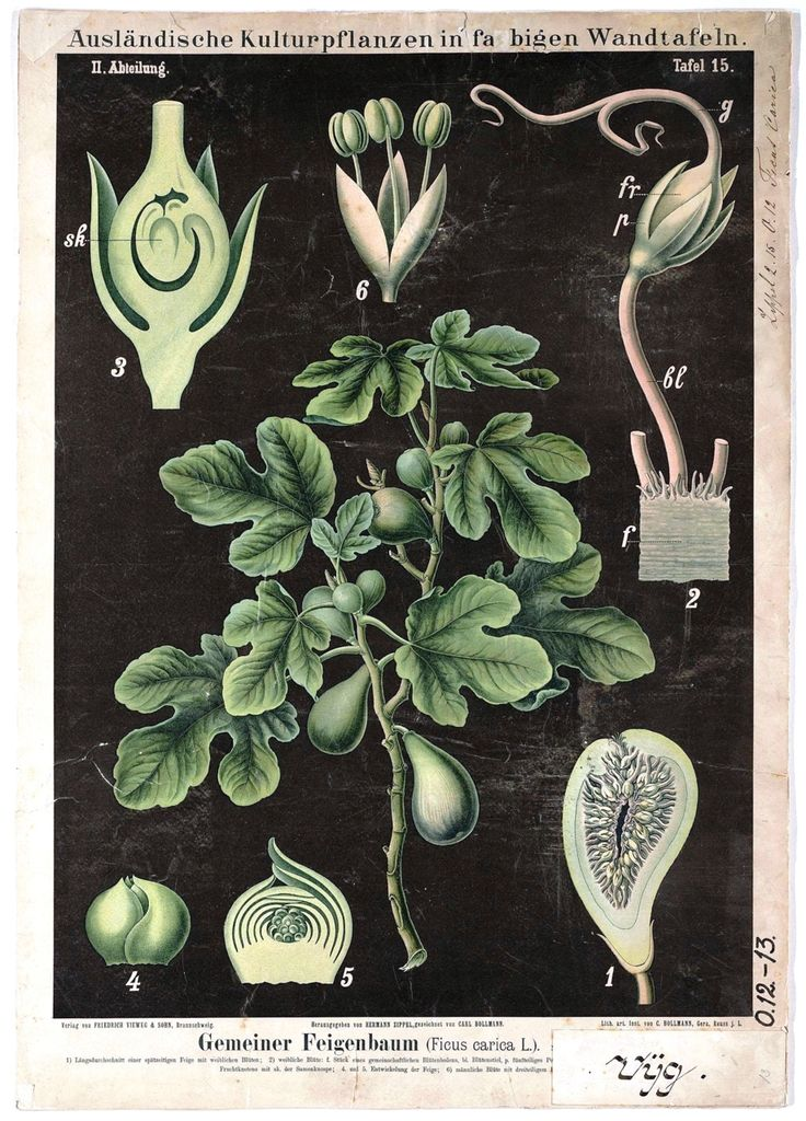 Anatomy of a fig. Ficus carica. German educational plate. 19th Century