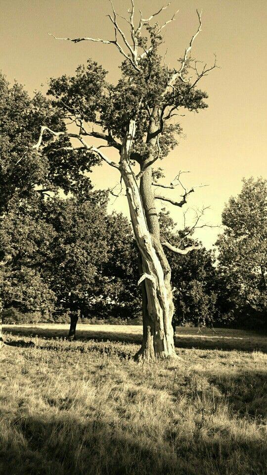 Timeless oak