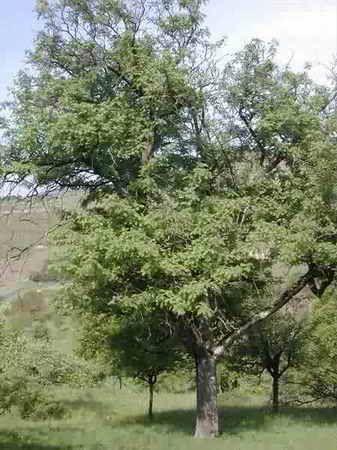 Sorbus domestica     Nombre Español:  Acafresna, Azarollo, Erísimo, Jerbo, Serbal, Serbal común, Serbal silvestre