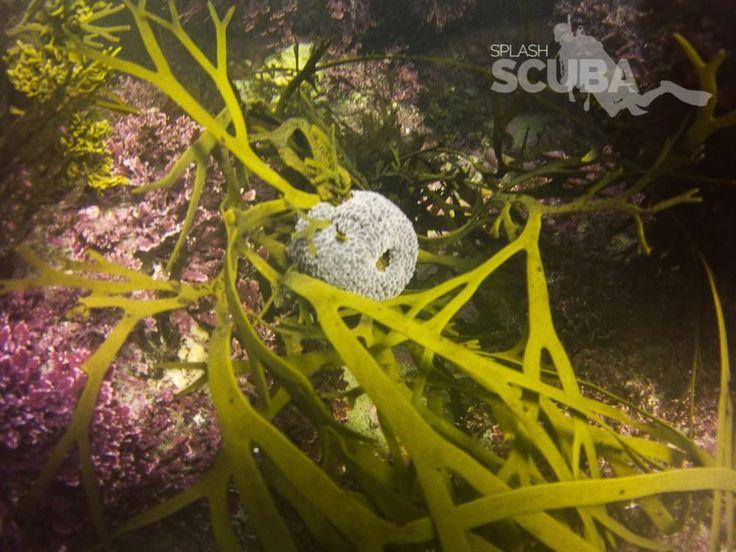The NZ wandering anemone (Phlyctenactis tuberculosa) #marinelife #marinebiology #anemone #cnidaria #splashteamnz #underwaterisourworld #sealife #sealifemicrohd #freediving #ocean #creature #newzealand #dunedin #karitane