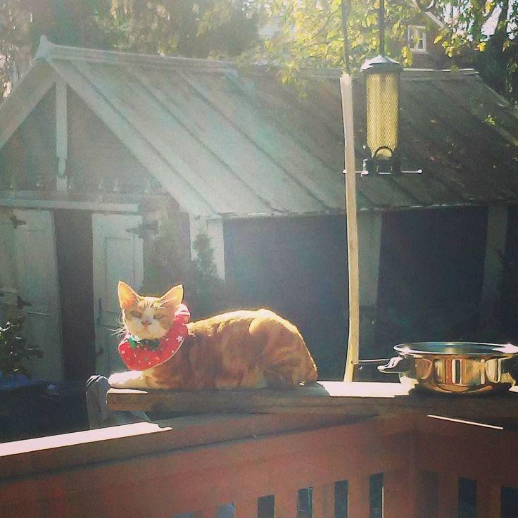 Frodo wearing a bright Birdsafe collar (put on when he almost caught a Chickadee) waiting for me to fill the birdfeeder. #InstaTags4Likes #cat #cats #kitten #kittens #catsagram #catstagram #instagood #pet #pets #animal #animals #petstagram #petsagram #photooftheday #catsofinstagram #ilovemycat #instagramcats #catoftheday #caturday #lovecats #lovekittens #adorable #catlover #instacat #tortie #oriental #tw #pin
