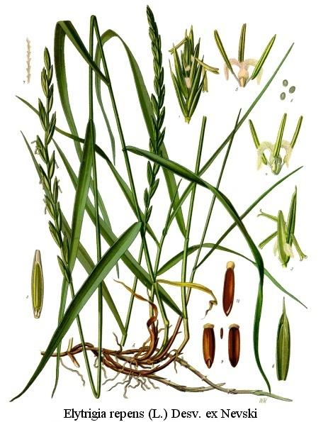 A faj kettős latin neve:Agropyron repens (syn.Elymus repens) Magyar név:közönséges tarackbúza Család:Poaceae  Rend:Poales   Életforma:G    Termés:szem