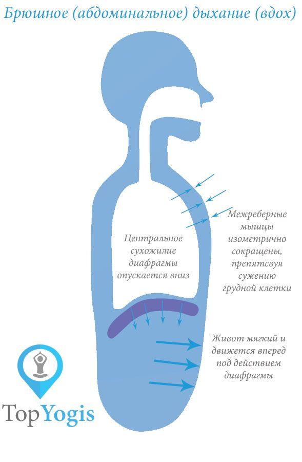 Брюшное абдоминальное дыхание анатомия йоги. Читайте лекцию о йоге и дыхательной системе на https://topyogis.com/ru/blog/anatomia-iogi/dyhanie-i-ioga