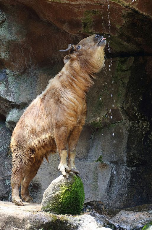 Golden Takin, an endangered goat-antelope native to the Peoples Republic of China & Bhutan. Takins are adapted to staying warm and dry during winters in the Himalayan Mountain regions they inhabit.