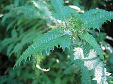 Urtica ferox, commonly known as ongaonga, is a nettle that is native & endemic to New Zealand. It's sting is so nasty that even the smallest brush will feel numb for days following the painful sting. People have been known to become unconscious and even die from this serious stinging nettle. Yet it's the only thing our native butterfly, the red admiral, will eat.