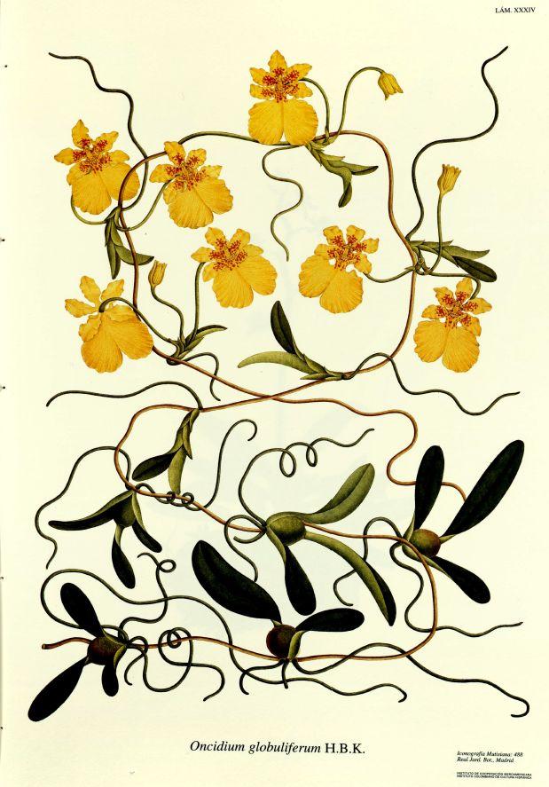 From Flora de Real Expedicion Botanica...1783 - 1816 by Jose Celestino Mutis y Bosio