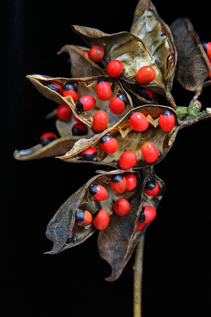 Abrus precatorius Fabaceae Gidee Gidee Seed Pods by John Elliott Townsville