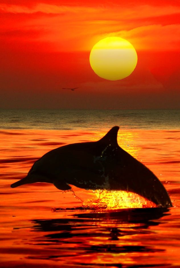 Dolphin at sunset: