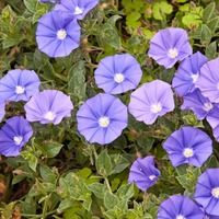 Convolvulus Sabatius, Bindweed, Blue Rock Bindweed, Ground Morning Glory, Convolvulus mauritanicus, Convolvulus sabatius subsp. mauritanicus, Mediterranean Plants, Drought Tolerant plant, Evergreen Shrub, Blue Flowers