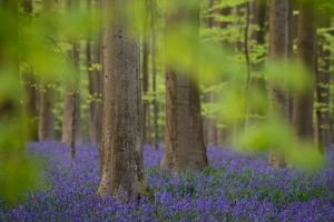 Hallerbos, Belgium Beautiful forest where the ground is covered in bluebells for about 3 weeks in April.