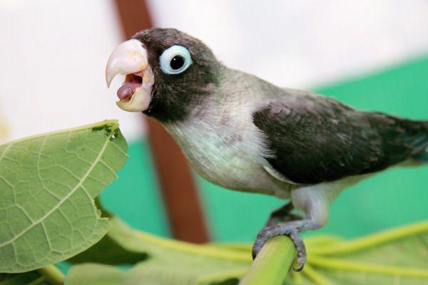 Βασικές αρχές για την διατροφή παπαγάλου. Ποια είναι τα θρεπτικά στοιχεία, βιταμίνες που χρειάζονται και από που τα αντλούν.