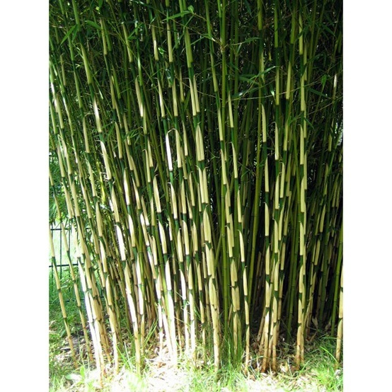 49 best japanese garden images on pinterest japanese gardens clumping bamboo and landscaping. Black Bedroom Furniture Sets. Home Design Ideas