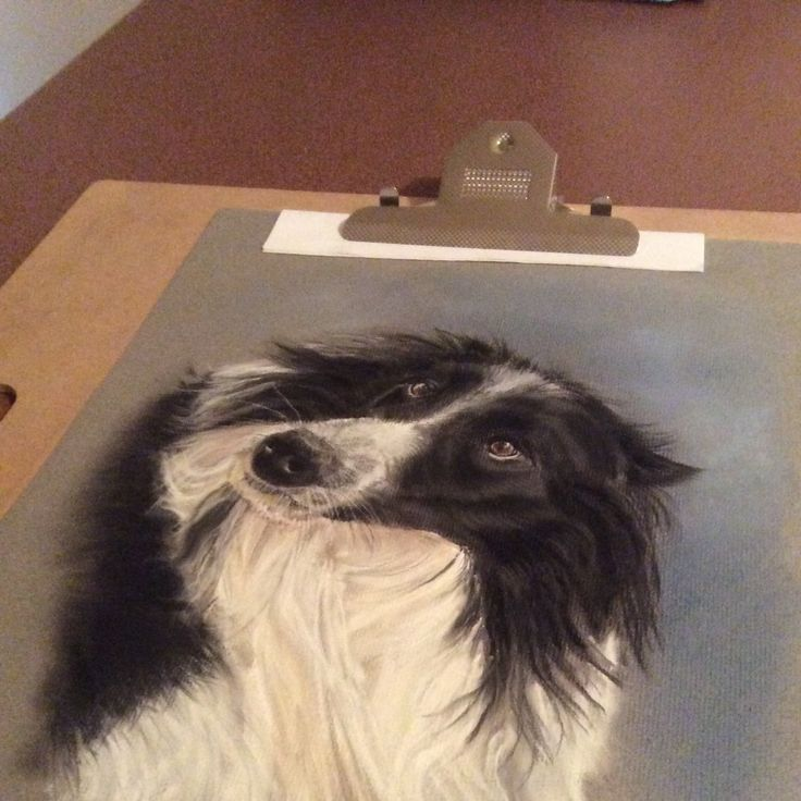 Completed portrait of a beautiful border collie x