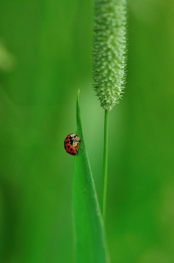 A ladybug climbs a blade of grass.