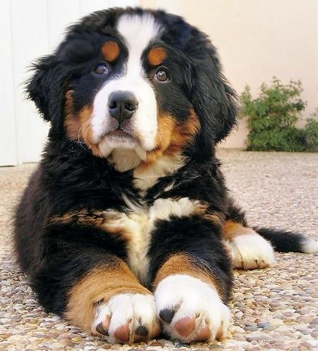 Fantastic Bernese Mountain Dog Chubby Adorable Dog - 75c2186c438e5a0ce0475ebc40504568--bernese-dog-bernese-mountain-dogs  Pictures_166640  .jpg