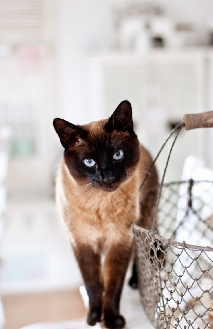 233 best Traditional Siamese cats (applehead) images on Pinterest ...