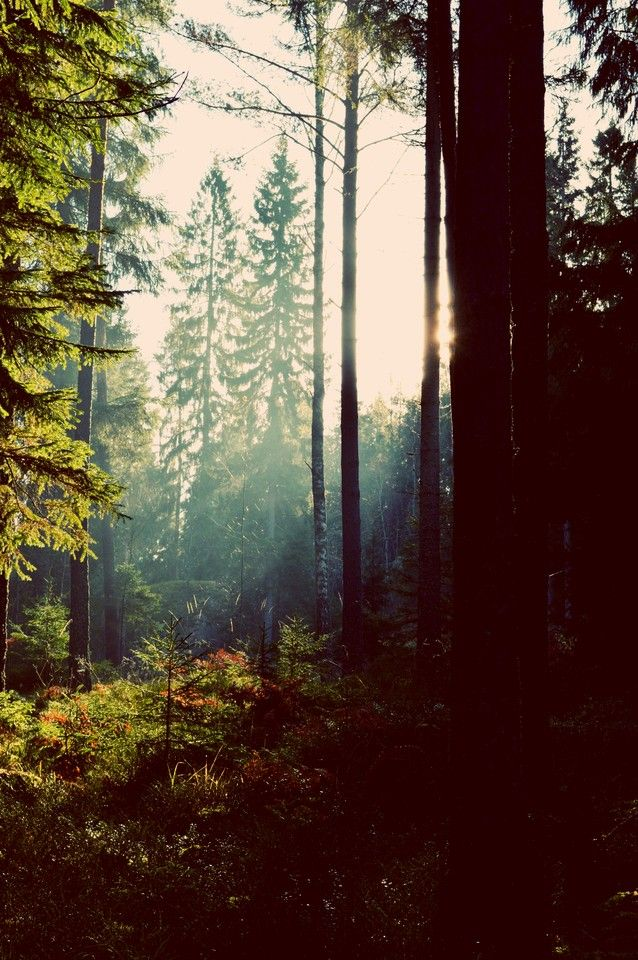 Sun And Forest - OGQ Backgrounds HD