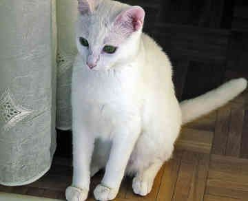 List of White Cat Breeds With Pictures | Pets World