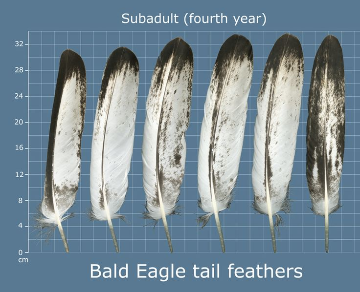 feather identification - Bald Eagle- Pinned by The Mystic's Emporium on Etsy