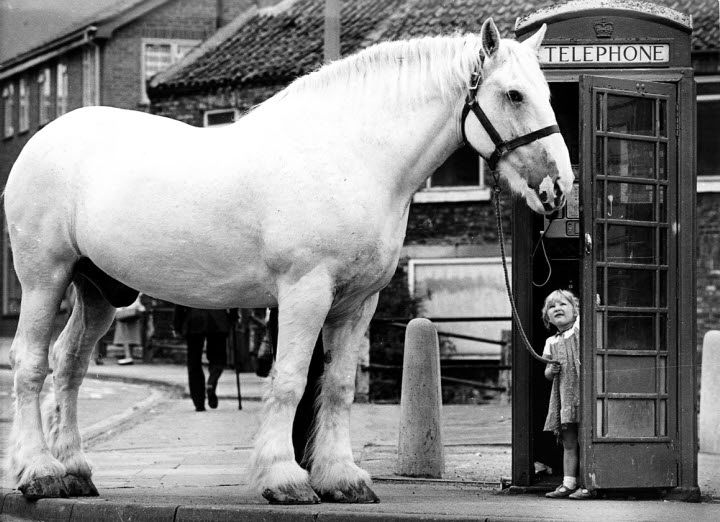 "Extra Stout"" was entered in the Guinness Book of Records for being the tallest Shire horse and the heaviest horse in the world at the time."
