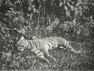 Antique and Classic Photographic Images. Tiger shot by sultan of Medan-Deli, Sumatra, 1898. Photographer: C. Kleingrothe.