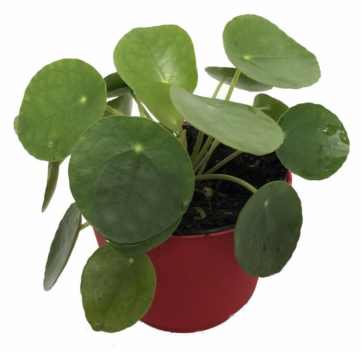 Extra Large Chinese Money Plant – Pass It On Plant – Pilea peperomioides -4″ Pot – Gardening