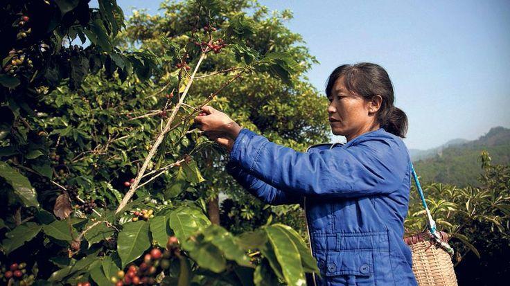 1892 wurden die ersten Kaffeebäume in China angepflanzt. Lange Zeit fristete das Heissgetränk ein Schattendasein. Nun entdecken Produzenten und Konsumenten Pflanze und Getränk.