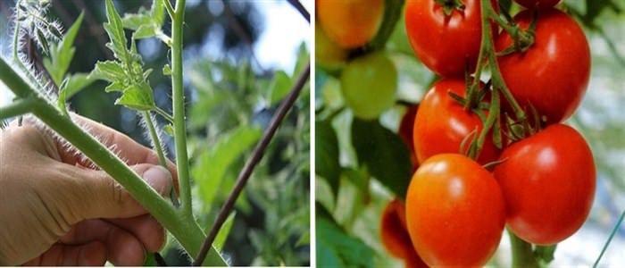 Πως Κλαδεύουμε την Ντομάτα για να Δέσουν Καλύτερα οι Καρποί!  #Φυτά