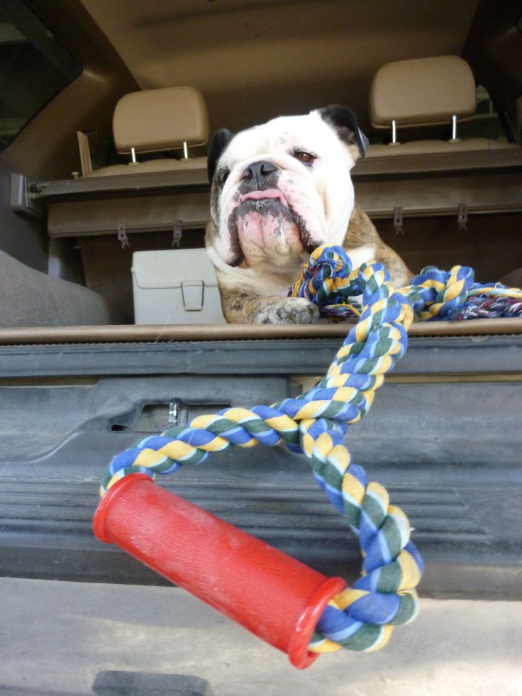 English bulldog with a tug toy (photographer: Woolly Volition)  Prints and other merchandise available at: http://woollyvolition.deviantart.com/prints/?utm_source=deviantart&utm_medium=userpage&utm_campaign=printstab / http://www.zazzle.com/woollyvolition / http://www.cafepress.com/WoollyVolition