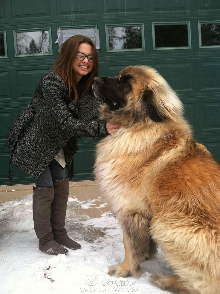 Wow !!!! This is Simba, a Leonberger. This type of dog can weigh up to 170 pounds, but they're very loyal and disciplined. I would love to cuddle with this gentle giant.
