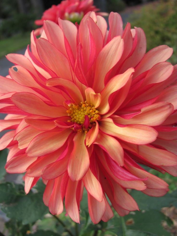 1469 best dahlias decorative images on pinterest for Flowers that look like dahlias