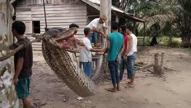 RiauJOS.com, Indargiri Hulu  -Seorang pria bertarung dengan ular piton raksasa sepanjang 7 meter. Nyawanya selamat meski ia harus dirawa...